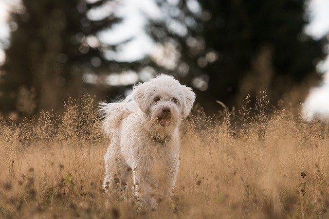pies biegnie